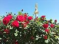 Roses at Liberty Square.jpg