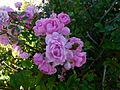 Roses du Jardin - Château du Moulin.JPG