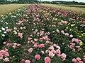 Roses plantantion-Skowieszyn.jpg