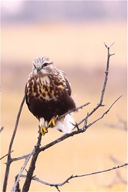 Rough-legged Hawk (5928548334).jpg