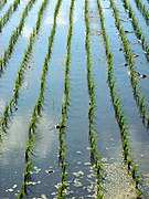 Rows of rice Sawara.jpg