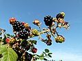Rubus - blackberry - Brombeere.jpg