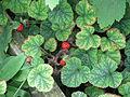 Rubus pectinellus trilobus (20983546255).jpg