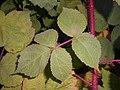 Rubus phoenicolasius 2017-09-29 6512.jpg
