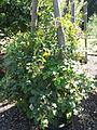 Rubus schlechtendalii - Botanischer Garten, Frankfurt am Main - DSC02481.JPG
