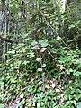 Rubus sieboldii 1.jpg