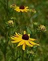 Rudbeckia subtomentosa Arkansas.jpg