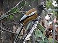 Rufous Treepie - Dendrocitta vagabunda - DSC08627.jpg