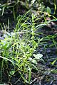 Rumex palustris kz1.jpg