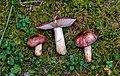 Russula viscida.jpg