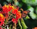 SABot Monarch 2 (6196361936).jpg