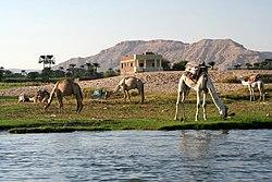 SFEC-2006-10-EGYPT-LUXOR-CAMEL0303