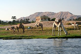 Dromedary - Dromedaries are primarily browsers
