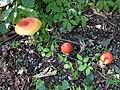 SR mushrooms (9103612780).jpg