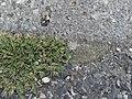 Sagina procumbens plant (16).jpg