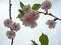 Saint Petersburg. Chinese Garden. Sakura tree2017 05.jpg