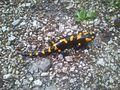 Salamander im Berchtesgadener Land.JPG