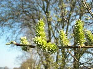 Salix caprea 006