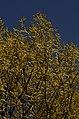 Salix tetrasperma Indian Willow tree from Anaimalai Tiger Reserve JEG1561.JPG