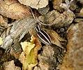 Salticidae Phlegra bresnieri (31321617754).jpg