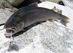 ¿Las truchas en el lago de salmón St. Helens tienen parásitos?