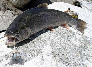 Arctic char species of fish