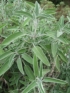 Salvia officinalis 02 by Line1.JPG
