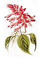 Salvia splendens Sellow 1821.jpg