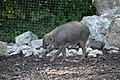 Sanglier des Visayas (Zoo-Amiens).JPG