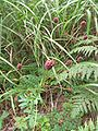 Sanguisorba officinalis 2.JPG