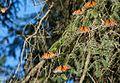 Santuario de la mariposa Monarca (3306144147).jpg