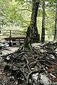 """Savica vízesés (Slap Savica), Szlovénia (Slovenia) - A vízeséshez vezető meredek hegyi sétaút melletti """"kősziklába kapaszkodó fa"""". (34326242355).jpg"""