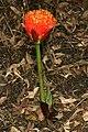 Scadoxus puniceus 1DS-II 2-4879.jpg