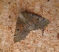 Scalloped Hazel. Odontopera bidentata - Flickr - gailhampshire (2).jpg