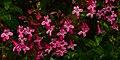 Scarlet Penstemon (Penstemon triflorus), endemic to Edwards Plateau, Edwards County, Texas, USA (18 April 2015).jpg
