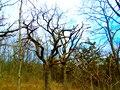 Scary Looking Trees - panoramio.jpg
