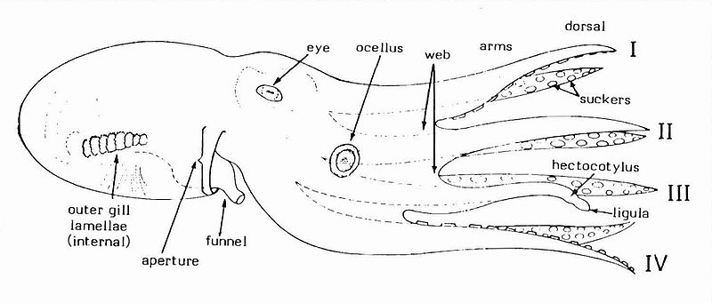 Diagram of octopus from side, with gills, funnel, eye, ocellus (eyespot), web, arms, suckers, hectocotylus and ligula labelled. Schematic lateral aspect of octopod features.jpg