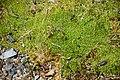 Scleranthus brockiei.jpg