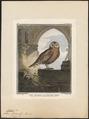 Scops zorca - 1700-1880 - Print - Iconographia Zoologica - Special Collections University of Amsterdam - UBA01 IZ18400127.tif