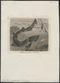 Scyllium canicula - 1700-1880 - Print - Iconographia Zoologica - Special Collections University of Amsterdam - UBA01 IZ14100109.tif