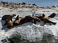 Sea Lions in the Beagle Channel (5524730929).jpg