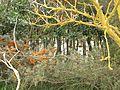 Sea buckthorn plant - Smaack - 201109.jpg