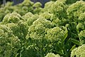 Sedum Autumn Joy 4zz.jpg