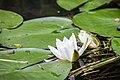 Seerosen im Spreewald - Flickr - blumenbiene (1).jpg