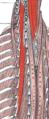 Semispinalis dorsi.png