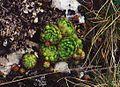 Sempervivum globiferum subsp globiferum.jpg