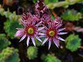 Sempervivum leucanthum 002.JPG