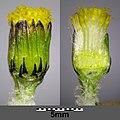 Senecio vulgaris sl9.jpg