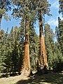Sequoia P4250902.jpg