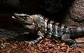 Serpentarium Blankenberge Ctenosaura similis 30042015.jpg